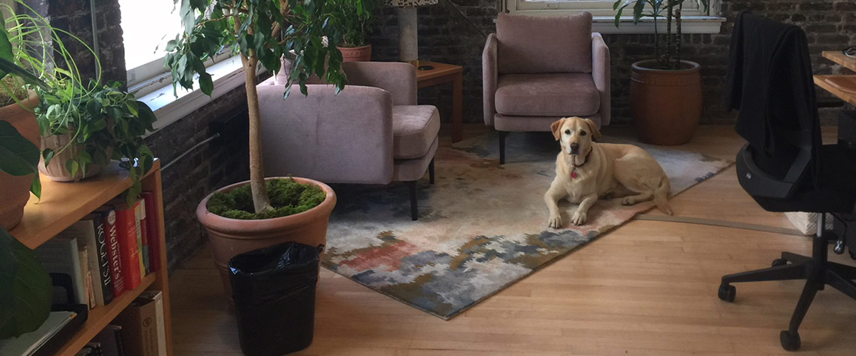 Photo of a golden retriever laying on a rug in an office