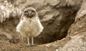 Burrowing owl young near Othello.  Photo by Paul Bannick.