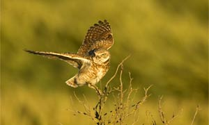 Burrowing owl.  Photo by Paul Bannick.