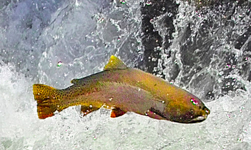 Yellowstone Cutthroat trout on the Yellowstone River.